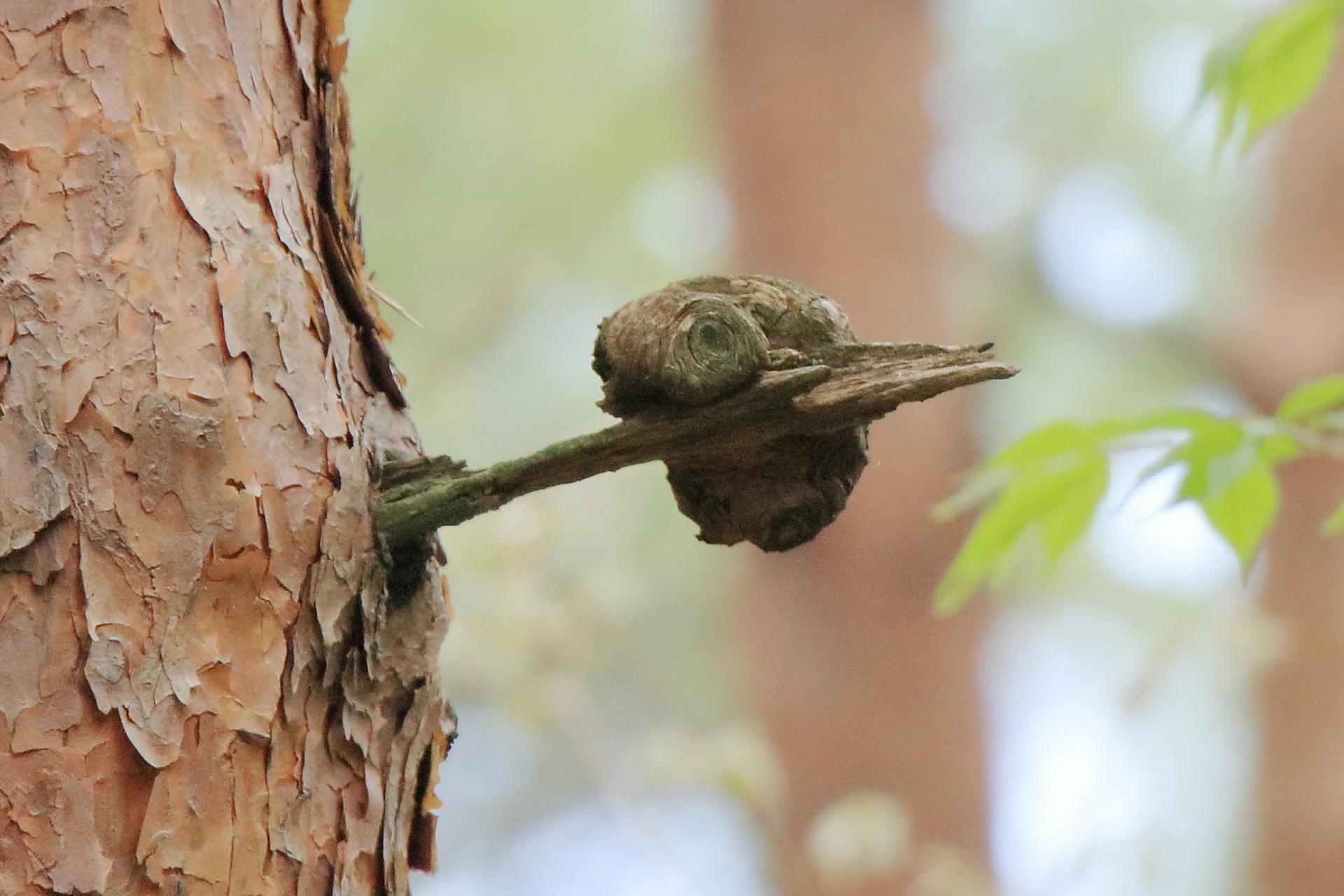 松の木02