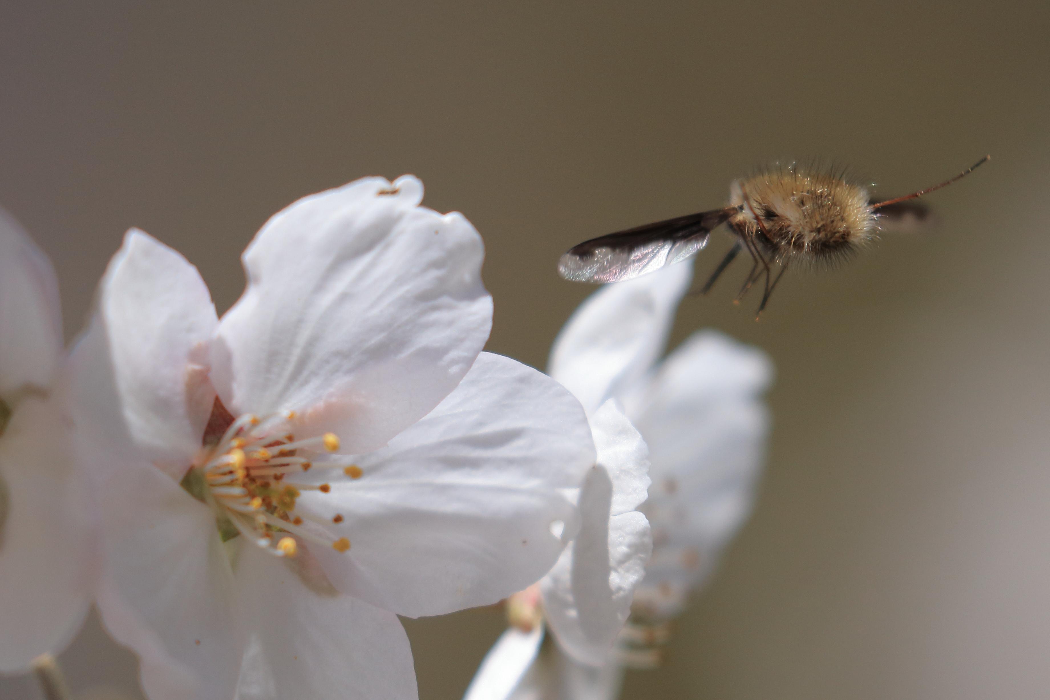 桜アブ_02