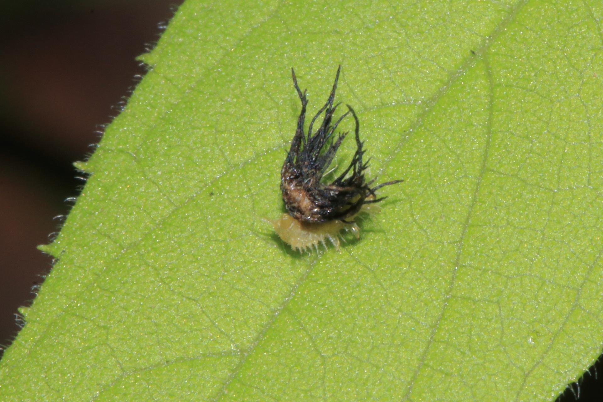 ジンガサハムシ幼虫