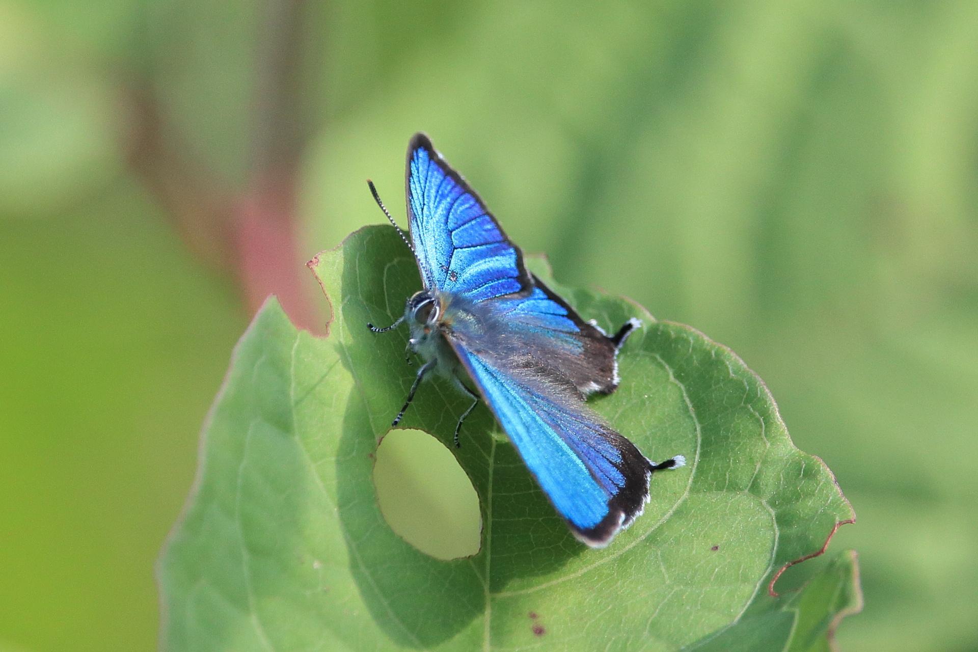 ミドリシジミBlue