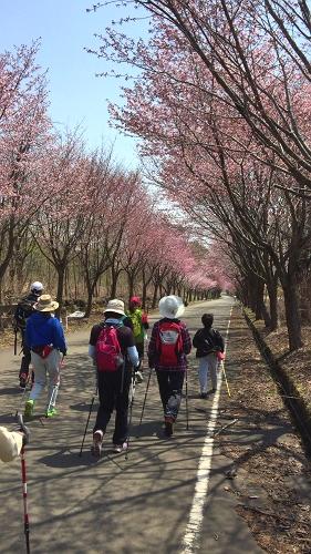 2017世界一桜並木 (18)_500