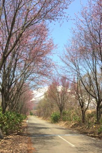2017世界一桜並木 (49)_500