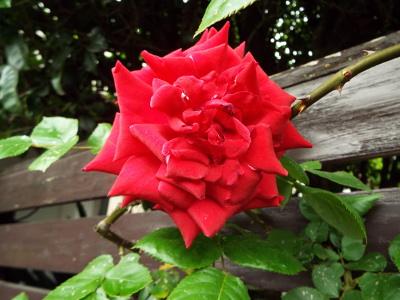 大倫のバラ