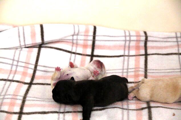 ホク 子犬 フレブル 6