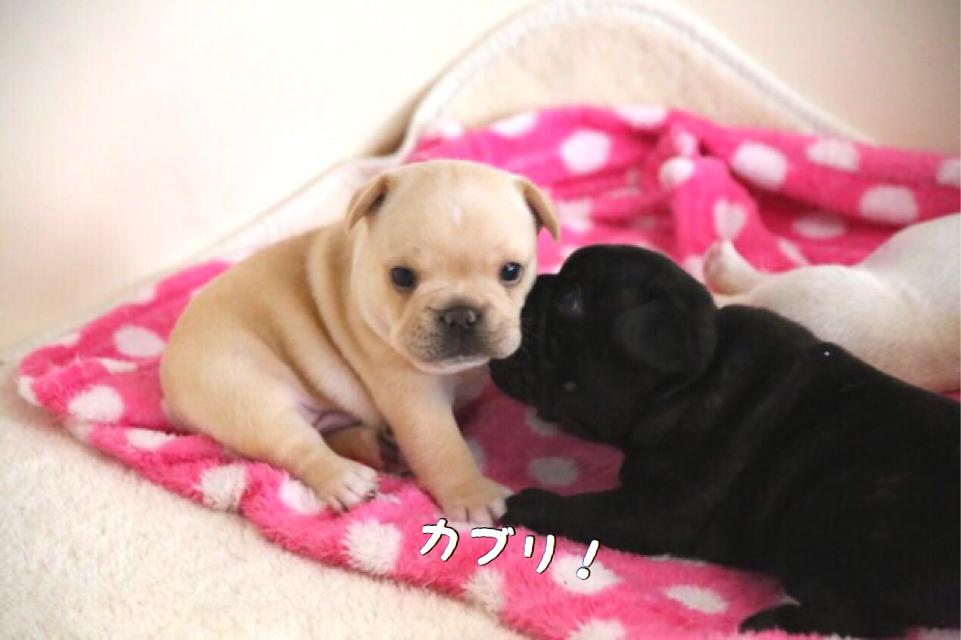 フレブル 子犬 成長 1