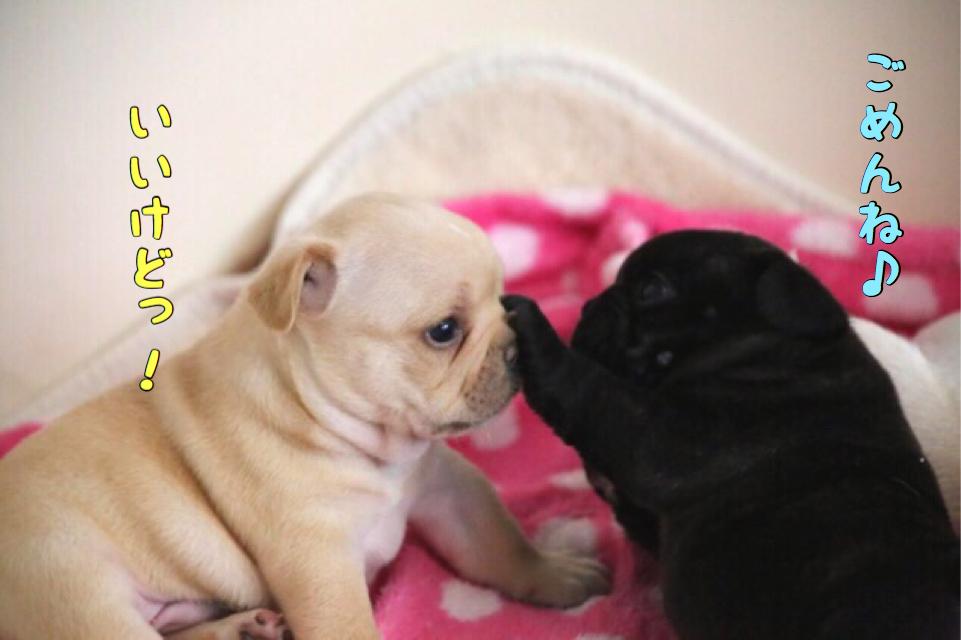 フレブル 子犬 成長 3