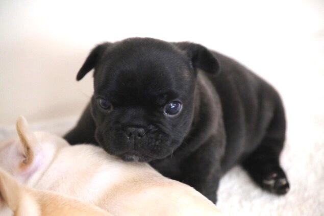 フレブル 子犬 成長 6