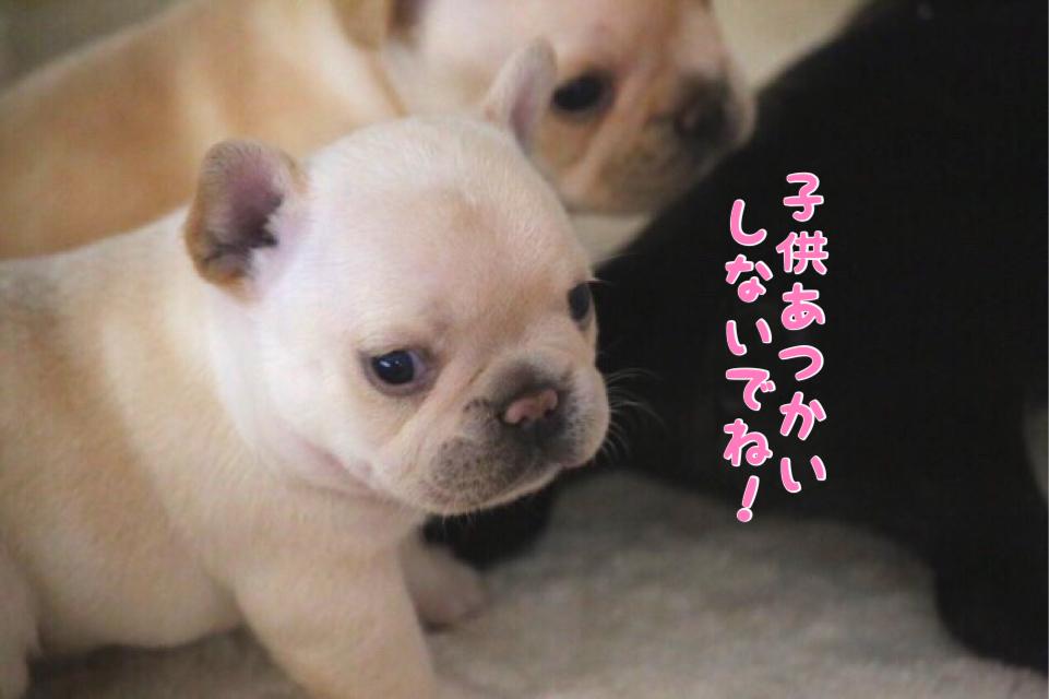 フレブル 子犬 成長 7