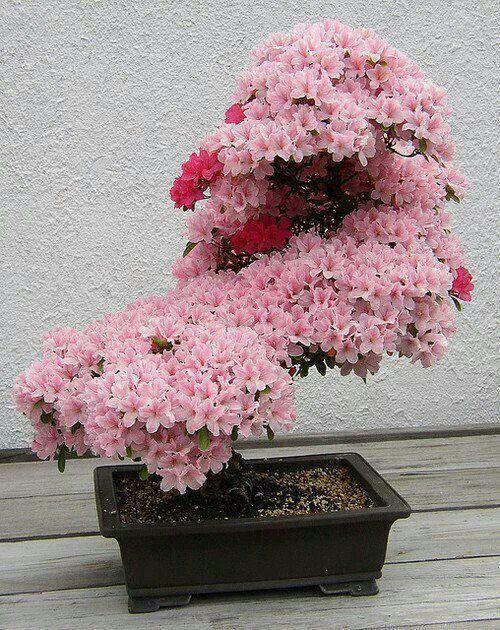 アザレア(サツキ)の盆栽