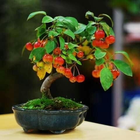 小リンゴの盆栽