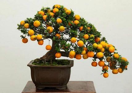 たわわに実った柑橘類の盆栽