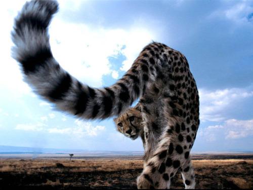 チーターの尻尾