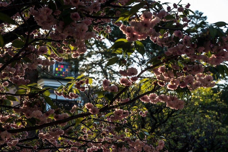 2017.04.28尾山神社の兼六園菊桜9