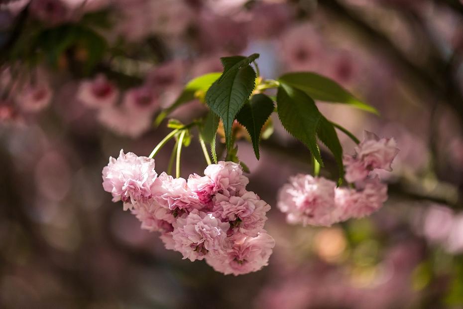 2017.04.28尾山神社の兼六園菊桜5