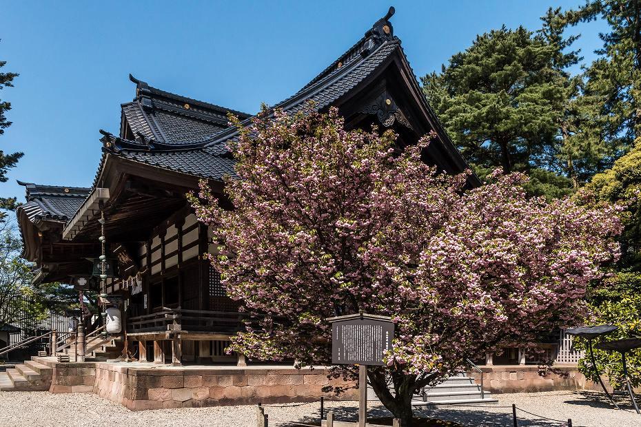 2017.04.28尾山神社の兼六園菊桜3