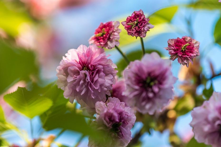 2017.04.28尾山神社の兼六園菊桜1