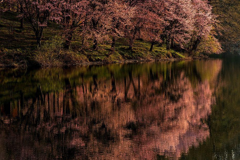 2017.05.04中綱湖のオオヤマザクラ12