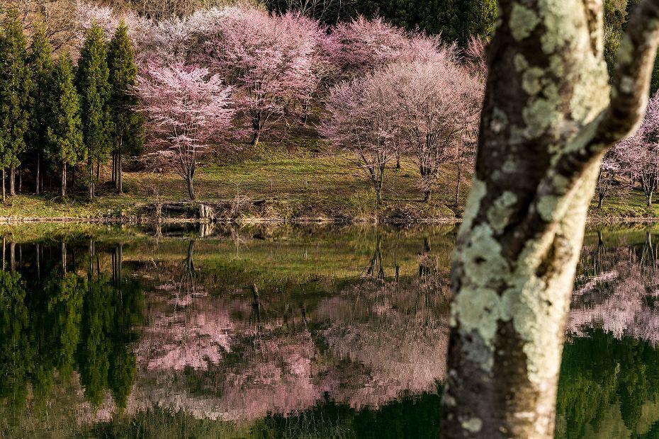 2017.05.03中綱湖のオオヤマザクラ7