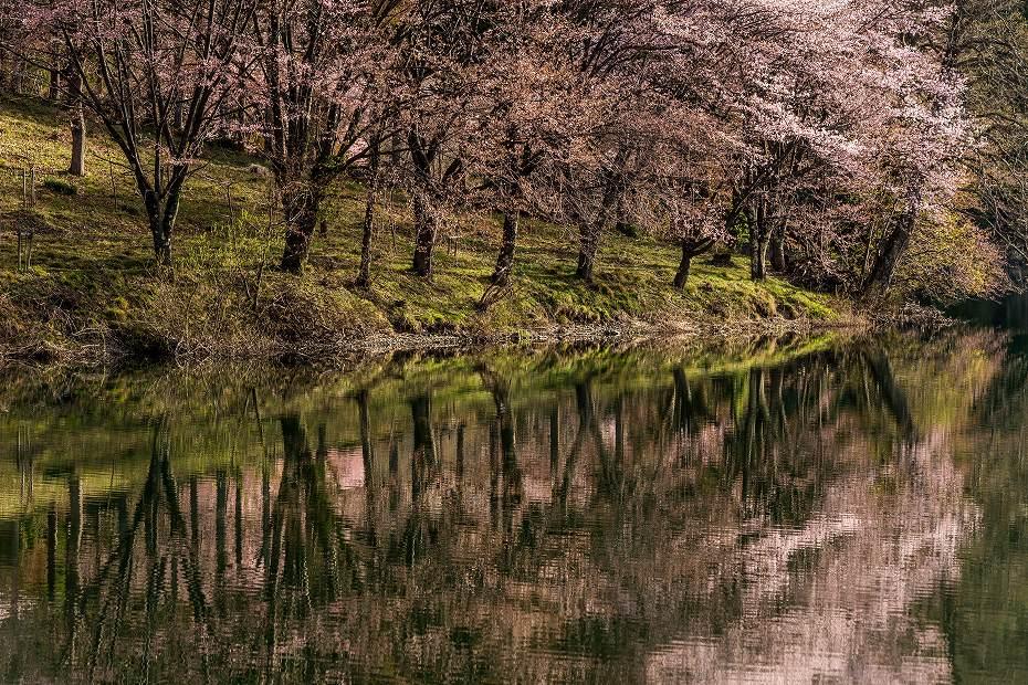 2017.05.03中綱湖のオオヤマザクラ8