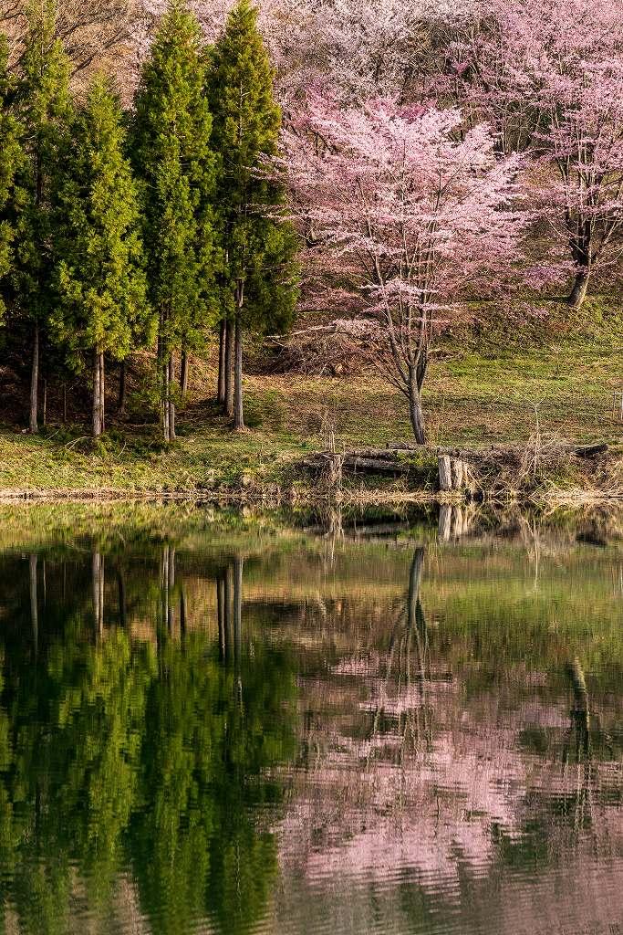 2017.05.03中綱湖のオオヤマザクラ6