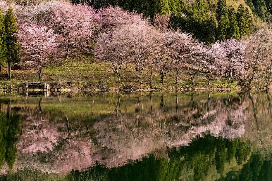 2017.05.03中綱湖のオオヤマザクラ5