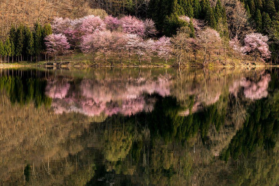2017.05.03中綱湖のオオヤマザクラ3