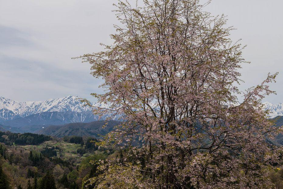 2017.05.03立屋・番所の桜9