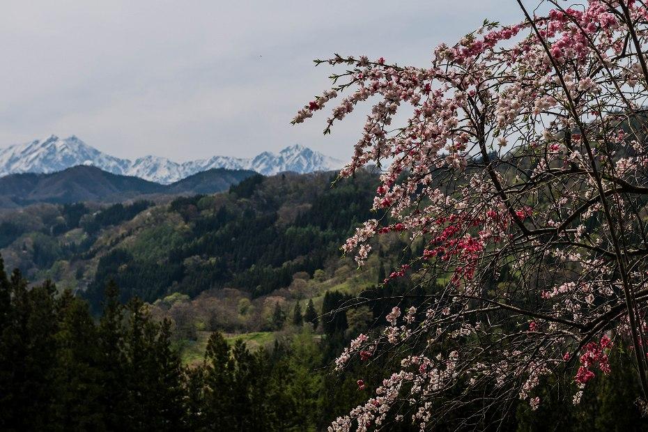 2017.05.03立屋・番所の桜8