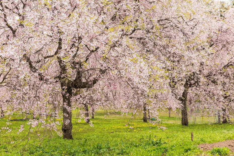 2017.05.03立屋・番所の桜6