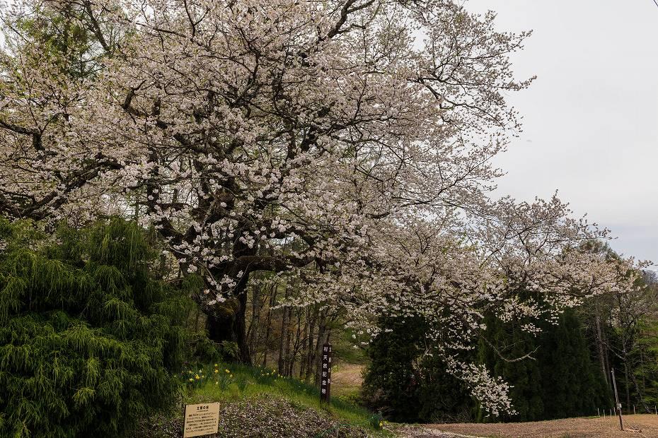 2017.05.03立屋・番所の桜4