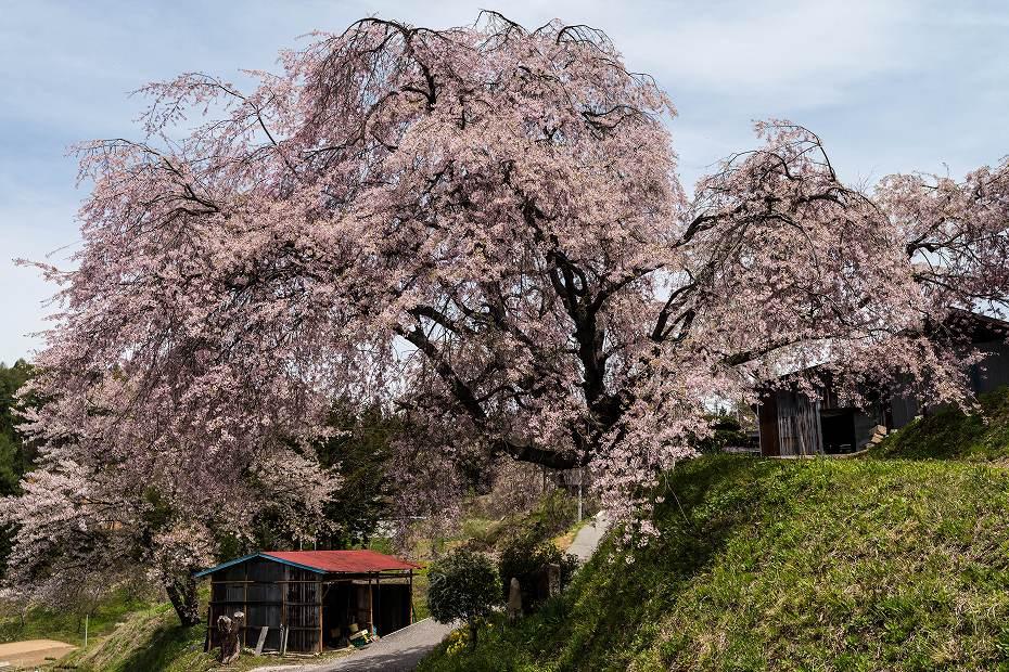2017.05.03立屋・番所の桜2