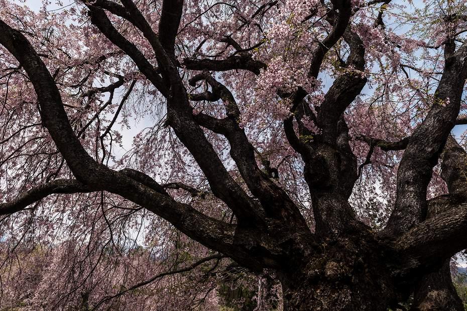2017.05.03立屋・番所の桜3