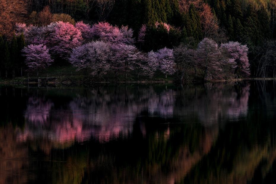 2017.05.04中綱湖のオオヤマザクラ6