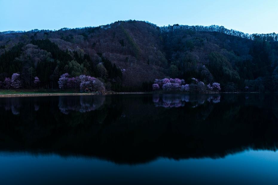 2017.05.04中綱湖のオオヤマザクラ3
