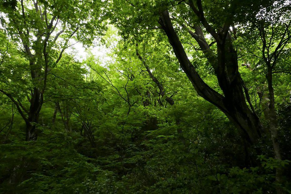 2017.05.09富士写ケ岳シャクナゲ3
