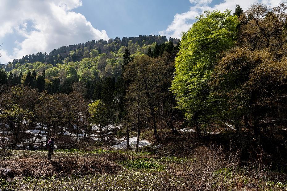 2017.05.07大嵐山のミズバショウ1