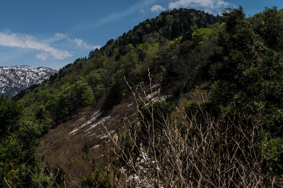 2017.05.07大嵐山のブナ林9