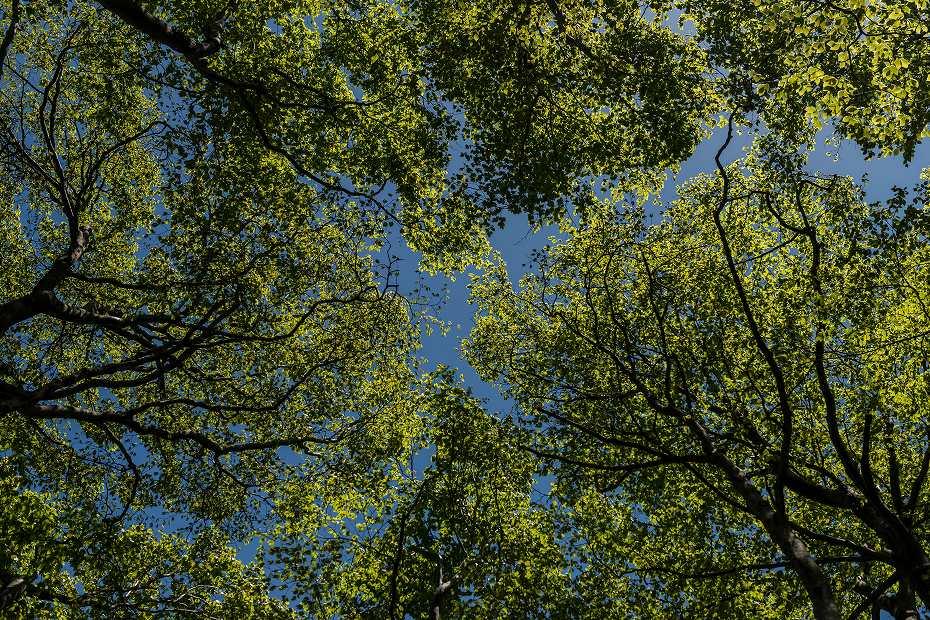 2017.05.07大嵐山のブナ林8