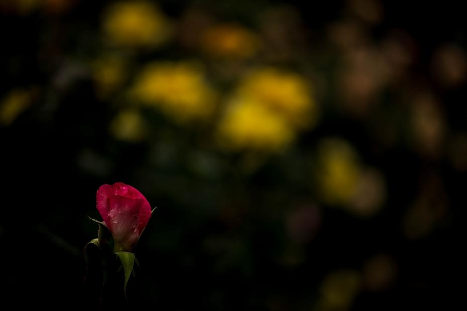 2017.05.25雨のバラ園18