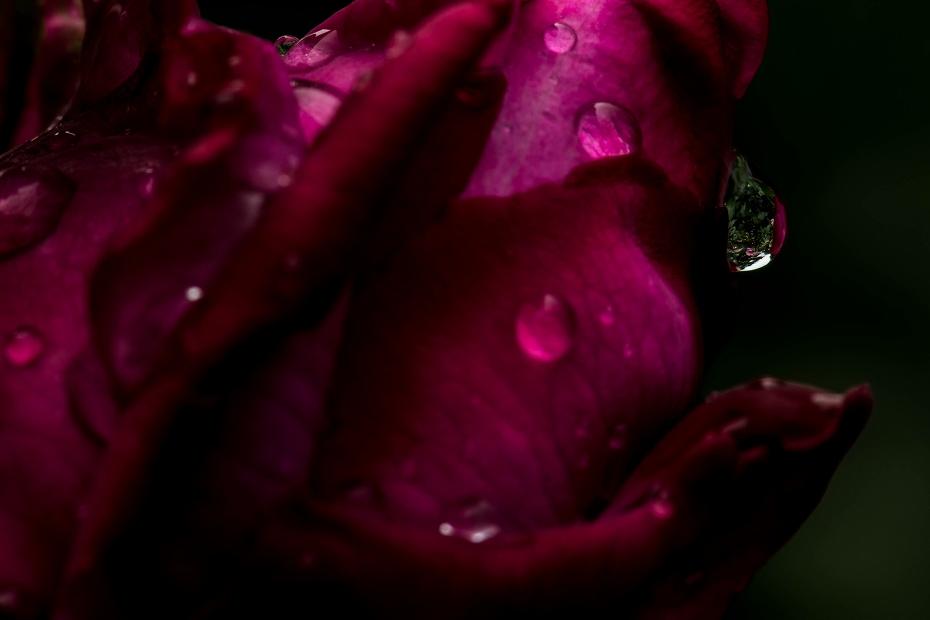 2017.05.25雨のバラ園3