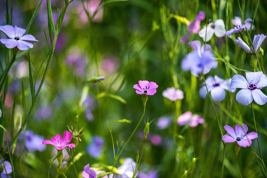 2017.06.01オープンガーデンの花々10