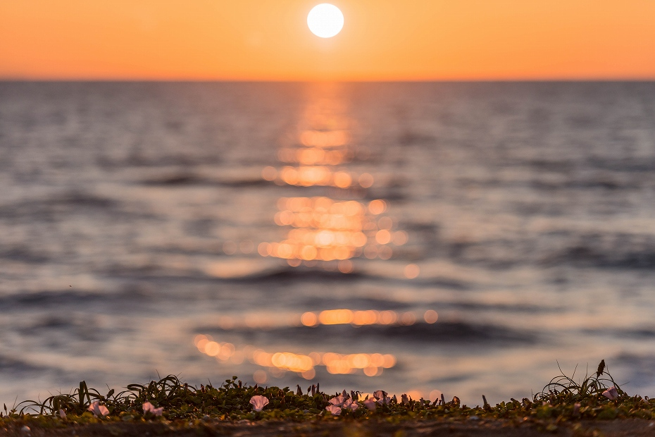2017.06.05内灘海岸9ハマヒルガオ