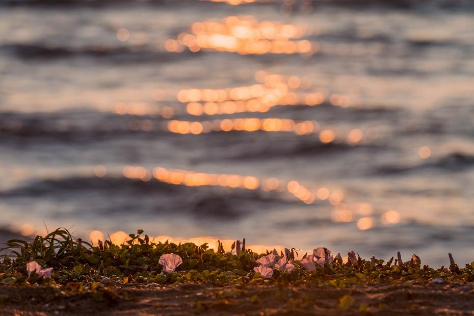 2017.06.05内灘海岸7ハマヒルガオ