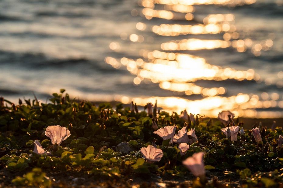 2017.06.05内灘海岸6ハマヒルガオ