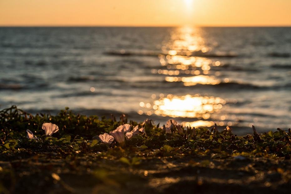 2017.06.05内灘海岸5ハマヒルガオ