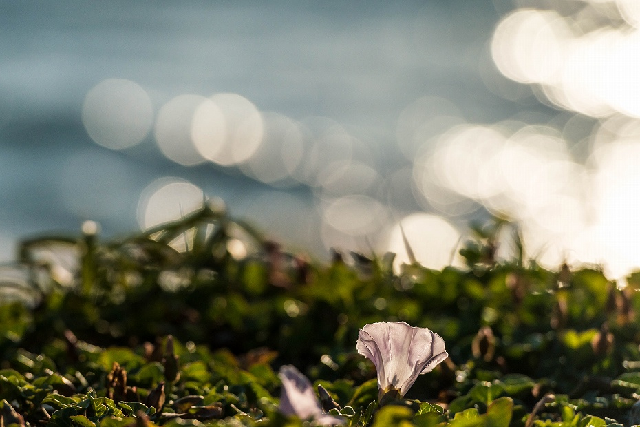 2017.06.05内灘海岸4ハマヒルガオ