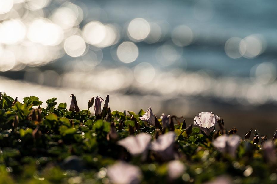 2017.06.05内灘海岸1ハマヒルガオ