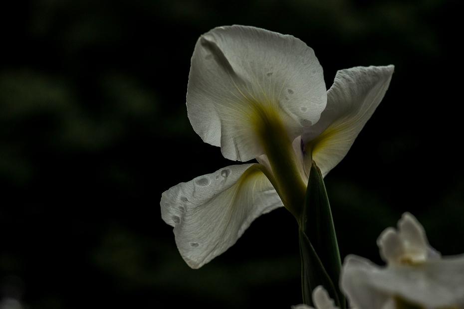 2017.06.13卯辰山花菖蒲園3