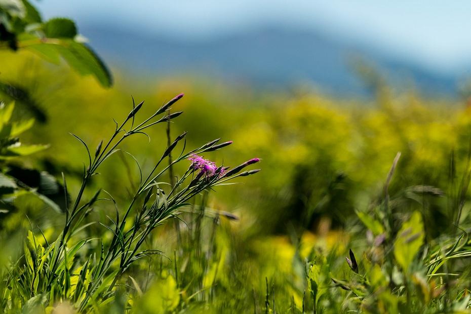 2017.06.17白山高山植物園7タカネナデシコ