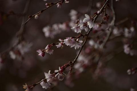 116十月桜